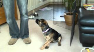 Border Terrier At 13 Weeks Old Learning New Tricks