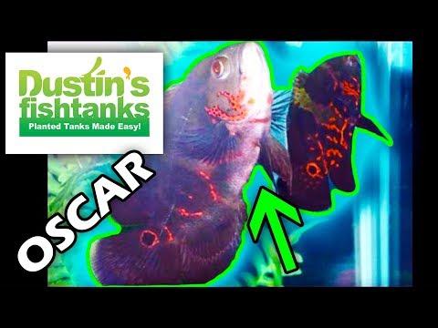 Oscars, Ol' Dirty Oscar Fish, Species Sunday