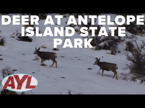 Deer At Antelope Island State Park