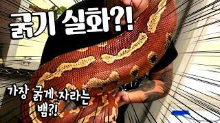 마산에서 찾아온 고등학생이 데려온  가장 두꺼운 거대뱀…