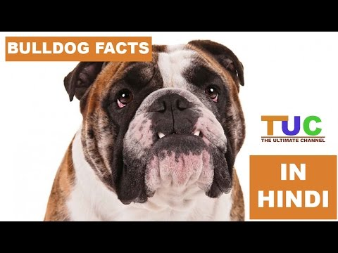 BULLDOG Dog Facts In Hindi   Dog Facts   Popular Dogs   The Ultimate Channel