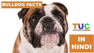 BULLDOG Dog Facts In Hindi | Dog Facts | Popular Dogs | The Ultimate Channel
