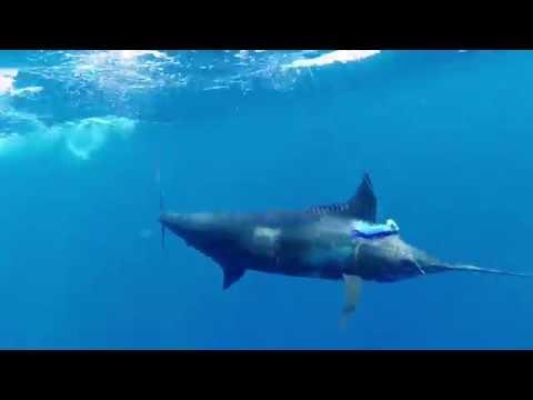 Marlin Fishing With Nambas Fishing Charters @ Port Vila - June 2019