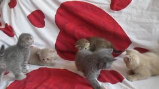 плюшевые котята Британцы и Шотландские вислоухие метро Печатиники