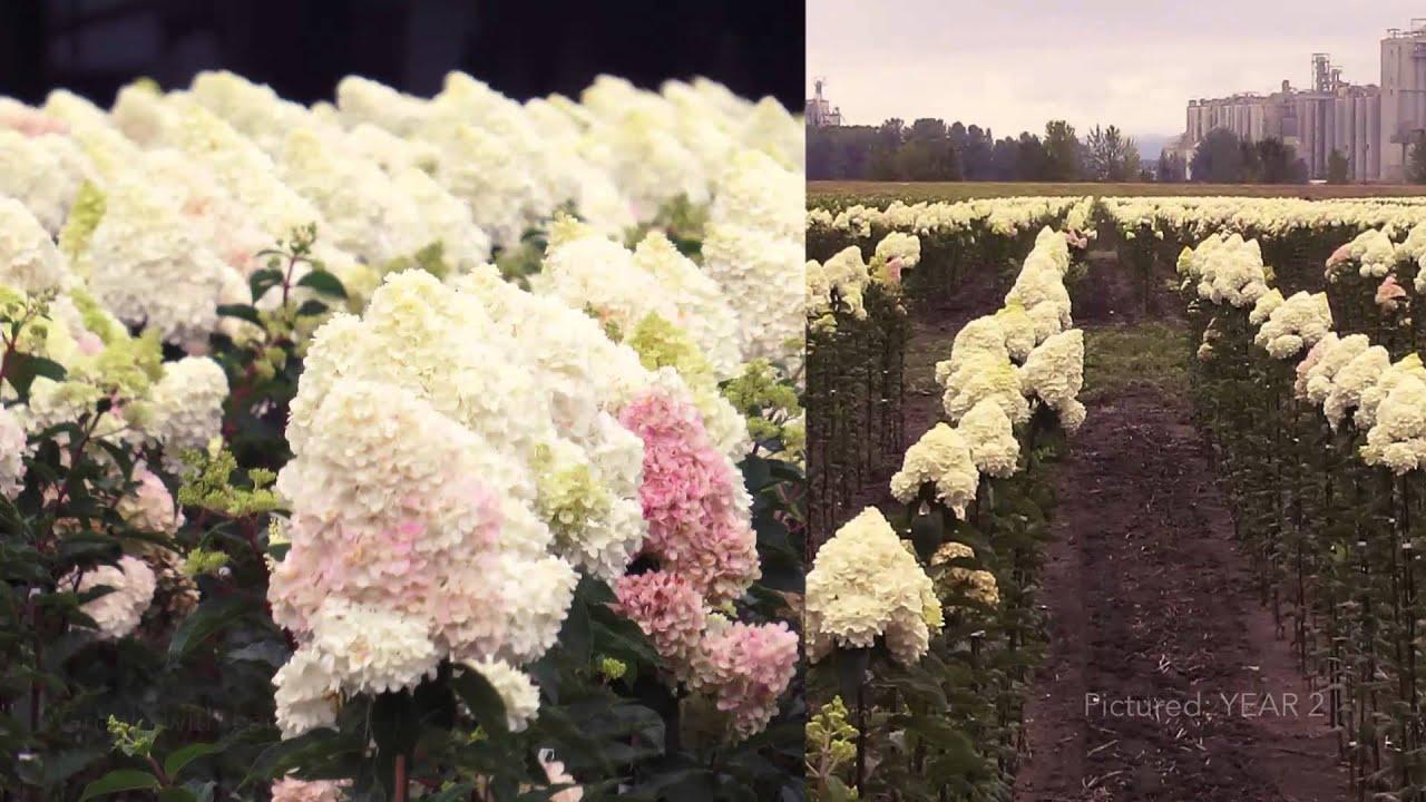 first editions vanilla strawberry hydrangea tree - Vanilla Strawberry Hydrangea