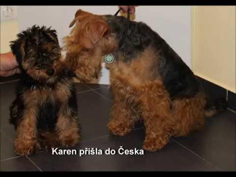 Welsh Terrier Karen, trimming V 2016