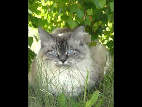 laperm cat breeders south africa