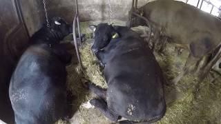 Sprzedaż bydła    Czy byki się jeszcze opłacają ? Jak się wybiły ? Ile za kg ?