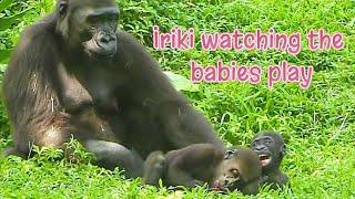 D'jeeco Family|Gorilla|Taipei zoo|Jabali is 320 days old, Ringo is 111 days old.20210916-5