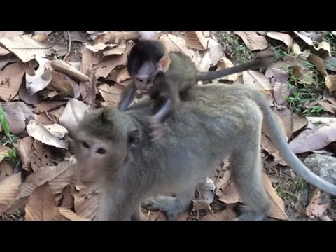 Baby monkey riding on mom/ Baby monkey walking