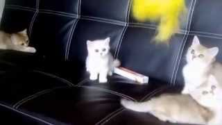 ПРОДАЖА - золотые и серебристые британские котята