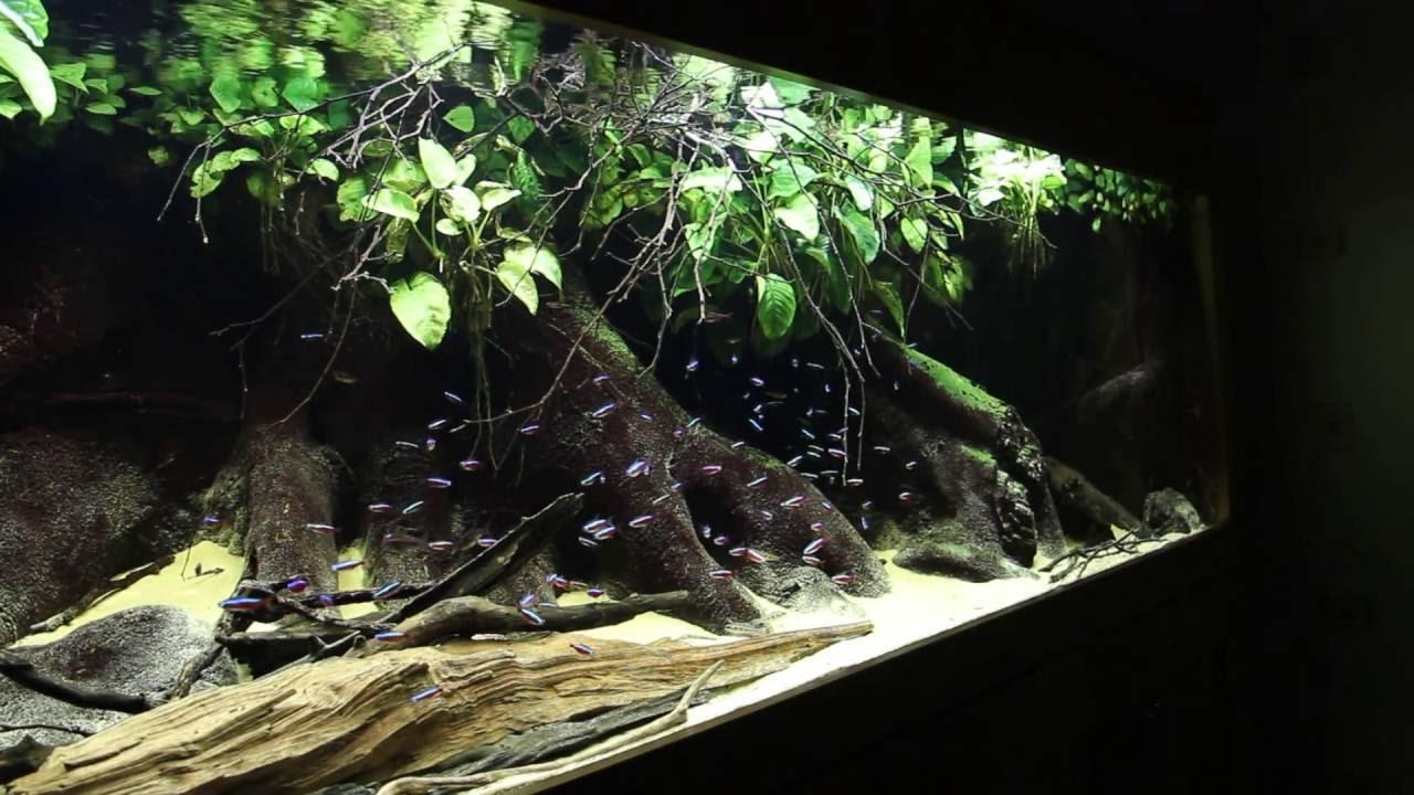 cardinal tetra aquarium paracheirodon axelrodi by dave m