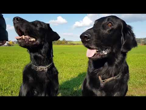 Flatcoated Retrievers Neil and Geronimo have some fun.