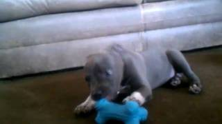 """American Bully """"bowzer"""" Playing With His Christmas Toys."""
