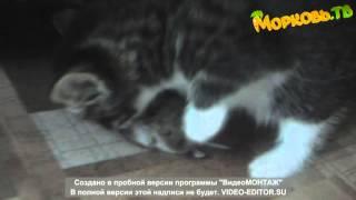 Прикольное видео про котят: самый маленький хищник!