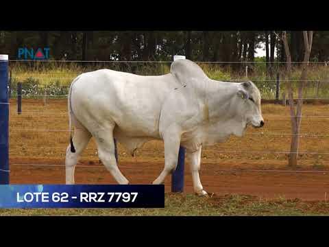 LOTE 62 - RRZ7797 - NELORE