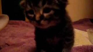 tiny black kitten