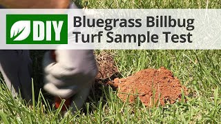 Bluegrass Billbug Turf Sample Test