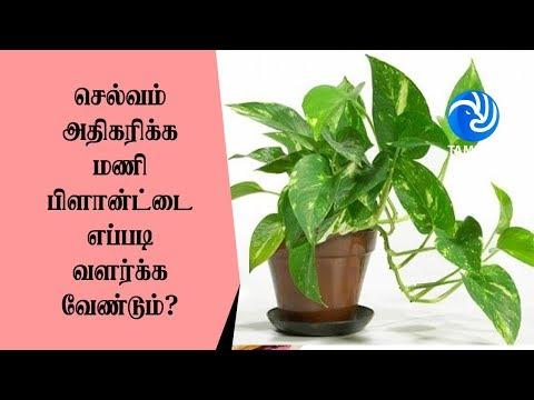செல்வம் அதிகரிக்க மணி பிளான்ட்டை எப்படி வளர்க்க வேண்டும்? - Tamil TV