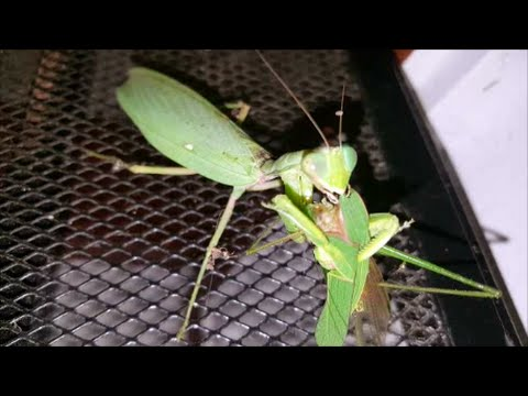 predatory relationship of katydids and mantids Beneficial insects are predatory insects that humans find and other living organisms tend to live together in a symbiotic relationship praying mantids.