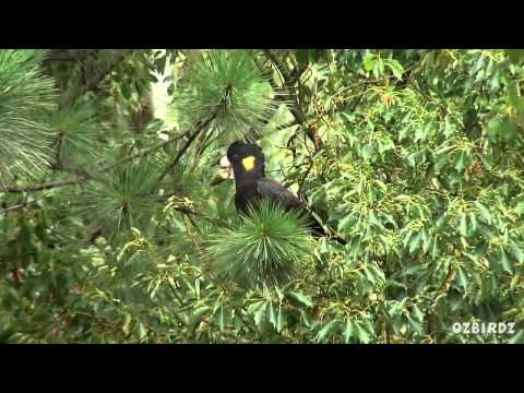 Garden Visitors #58 – Yellow Tailed Black Cockatoo