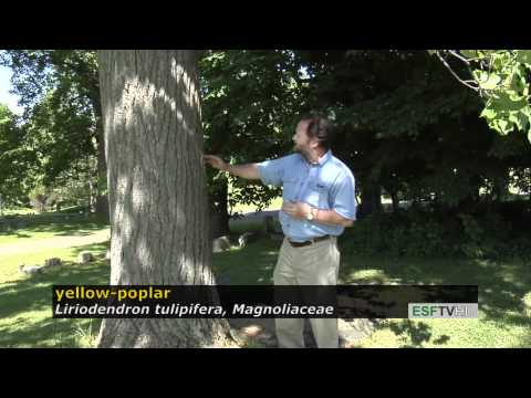 Trees with Don Leopold - yellow-poplar