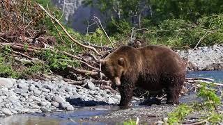 Bears at Kurile Lake, Kamchatka, Russia