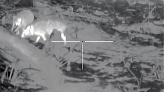 охота на кабана с тепловизором