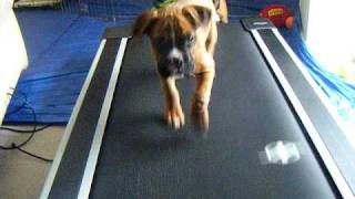 Funny Boxer Puppies