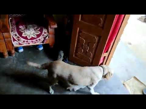 dog Ko saman Lana sikhaye Full train by p.k dog training
