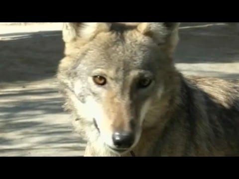 Arabian Pet Wolves