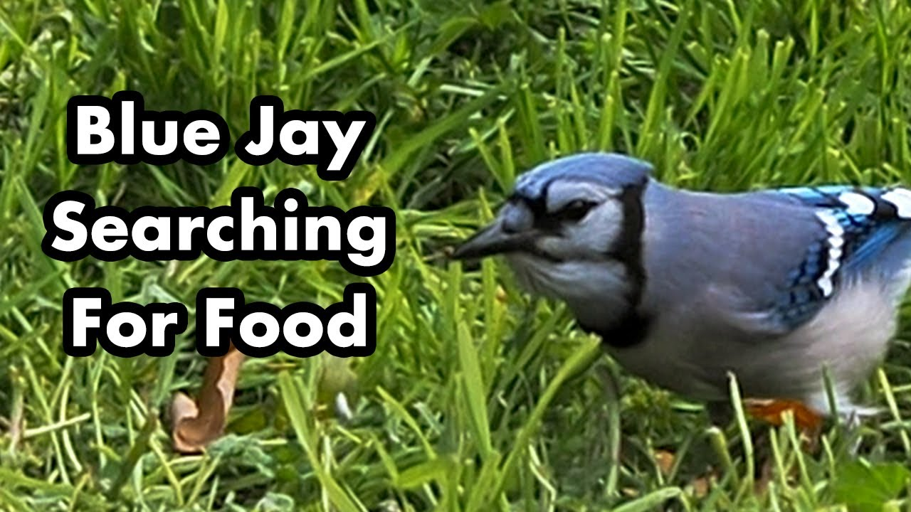 what kind of bird food do blue jays eat