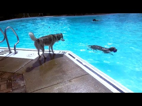 Dog Swimming Pool Day! Saved by Life Guard!