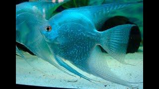 СКАЛЯРИИ Содержание скалярий. Animals & fish, krasekena,