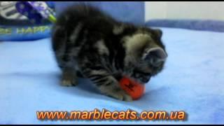 Британские котята окраса вискас (Litter_f_5_weeks)