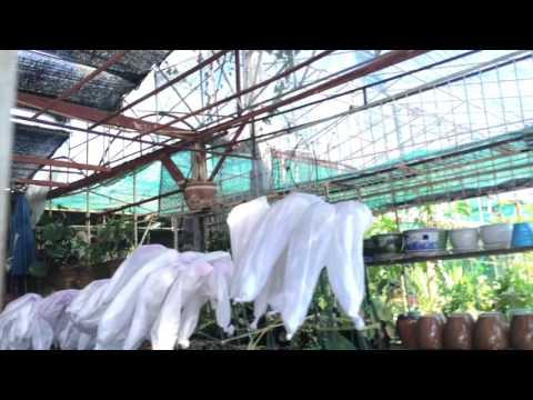 Orchid Shopping, Chiang Mai