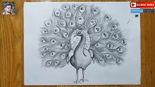 peacock pencil drawing easy sketch draw step