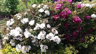 Древовидный пион. Цветение в нашем саду