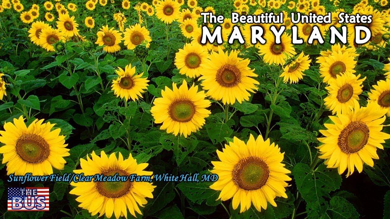Usa Maryland State Symbolsbeautiful Placessong Maryland My