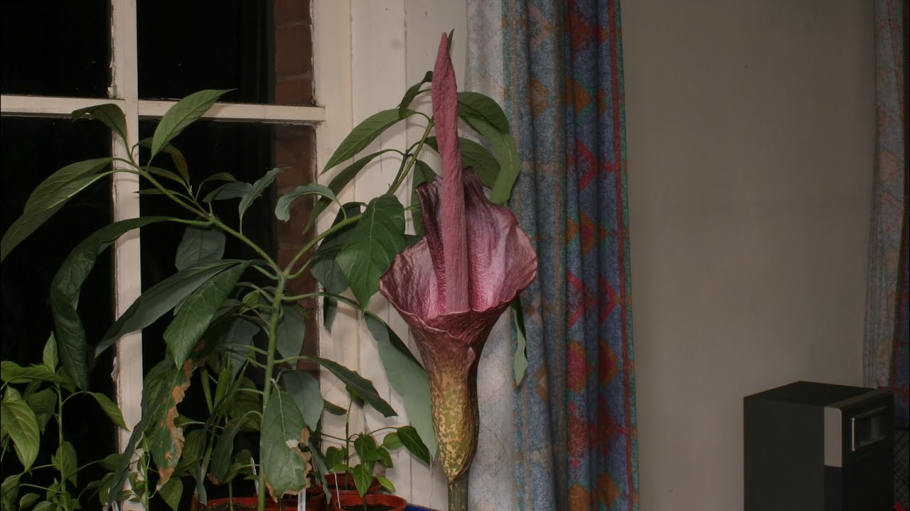 Amorphophallus Konjac Bloom Time Lapse Youtube