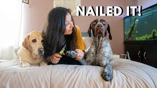 Difference between a GSP and a Labrador   Nail Cutting