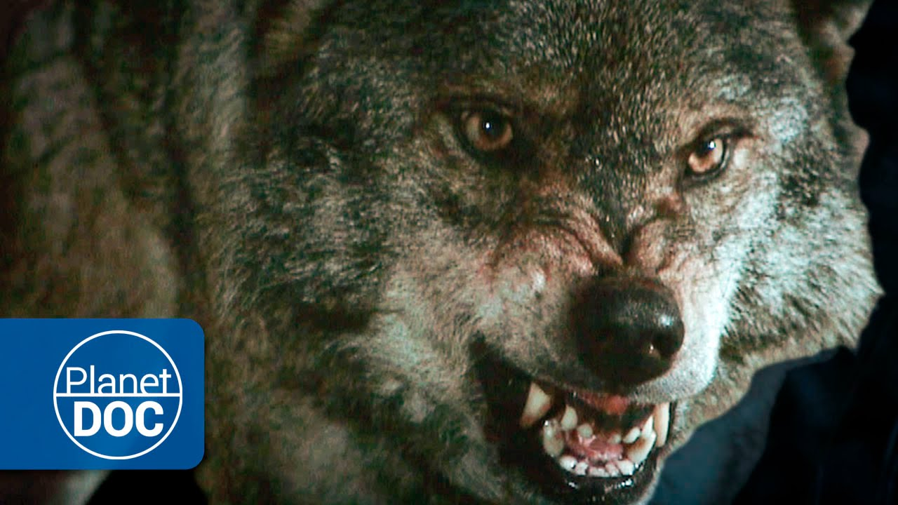 Lobos Salvajes Documental En Hd Youtube