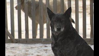 Два случая за день В Улан Удэ собаки продолжают нападать на людей