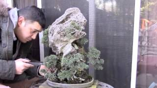 rock planting juniper bonsai