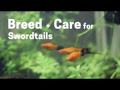 How To Breed + Care For  Swordtails (Easy And Simple)