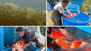 From Birth to Jumbo Koi **The life cycle of a Fish**