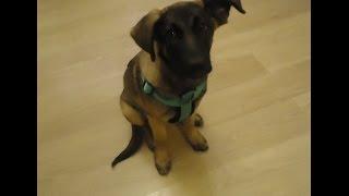 Лаки - благородный и умный щенок в добрые руки!