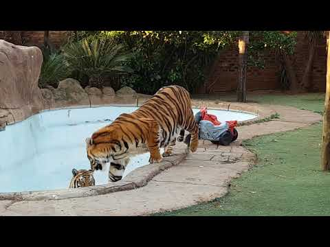 Tiger power ,Tiger toys. Can doves drink water with a tiger?