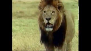 Спаривание африканских животных, лев в шоке!!! И смех и грех...