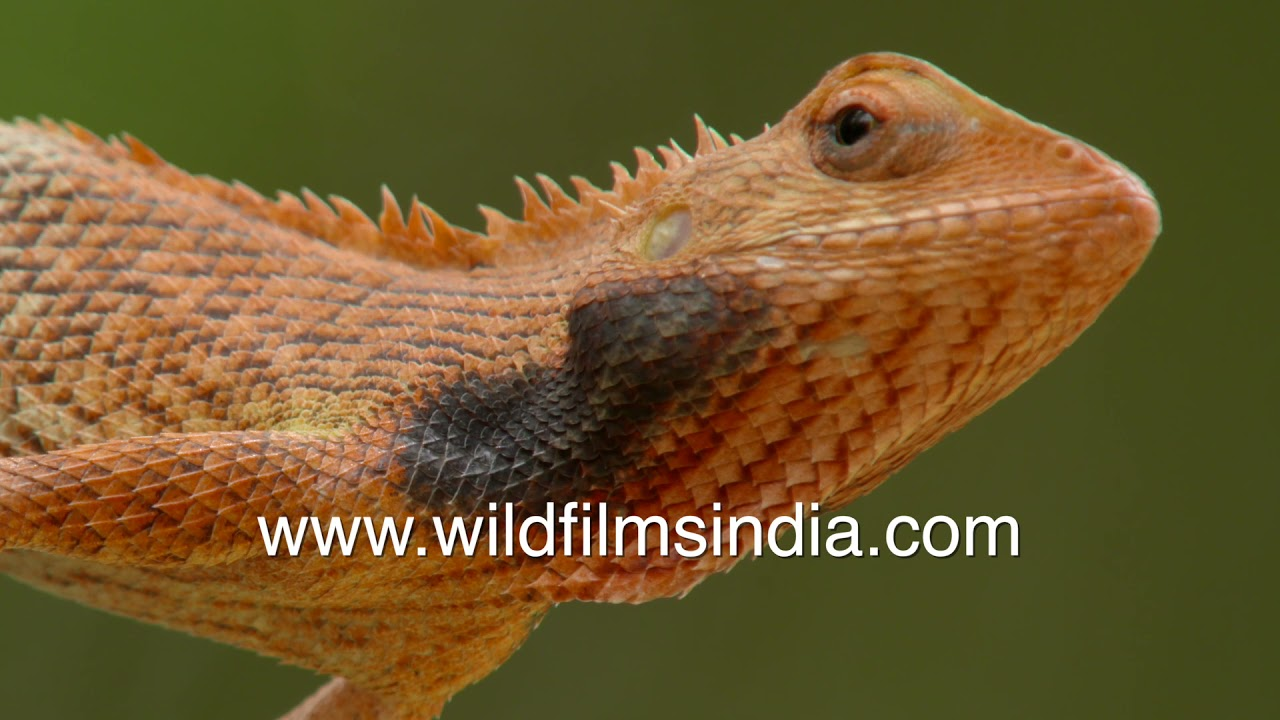 Indian cities have these bloodsuckers: Girgit lizard is harmless and useful for pest extermination